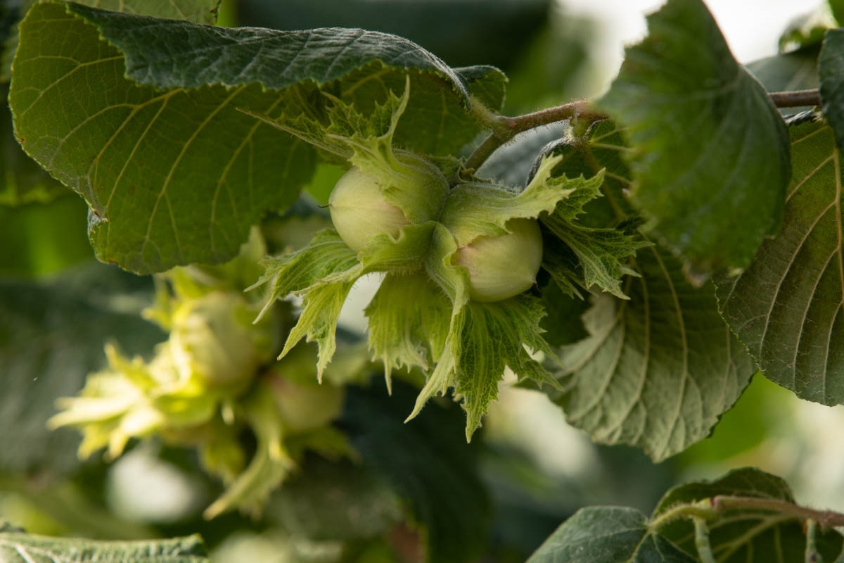 Hazelnuts in growth on tree